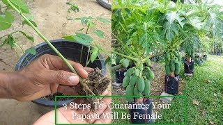 3 Steps To Guarantee Your Papaya Will Be Female