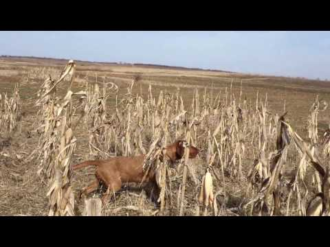 Zoldmali Extreme Wirehaired Vizsla- what a spectacular work!