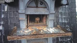 Lucky & un autre falcon kam 2 - Illkirch Graffenstaden - 03 08 2020