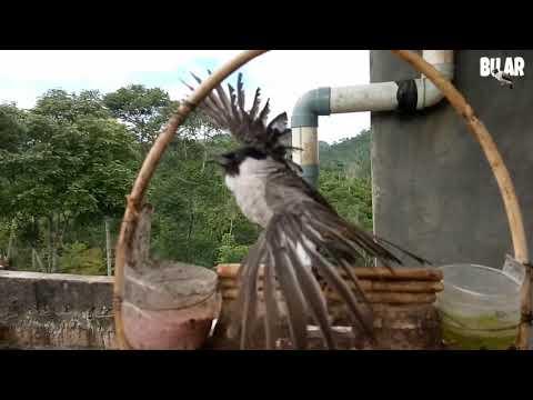 Suara isian...burung kutilang gacor