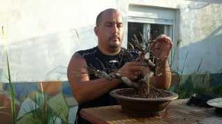 Creando un nuevo bonsai
