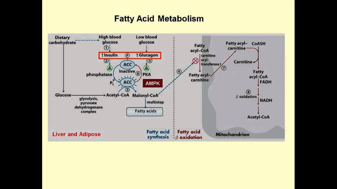Regulation of Fatty Acid Synthesis  YouTube