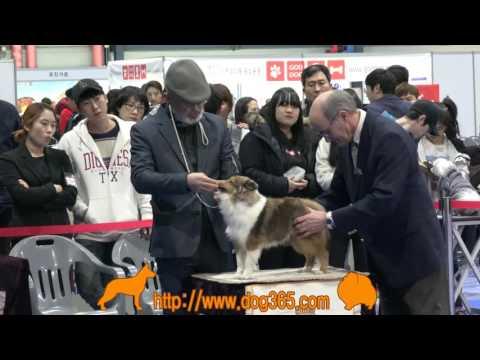2016.12.11 KKC Best Of Best Dog Show-Shetland Sheepdog