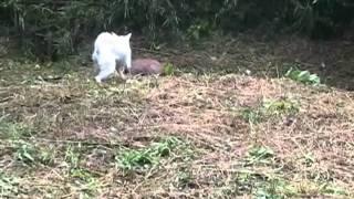 筑波山で行われた猟能研究会を見学してきました。 まだ、小さい猪でした...