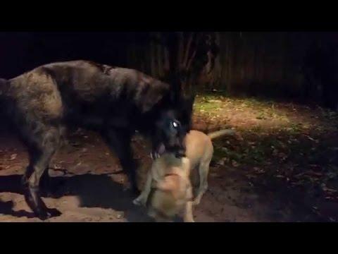 Wolves kill a Pitbull!!!