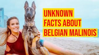 The Belgian Malinois Dog Breed; 10 Unknown & Interesting Facts