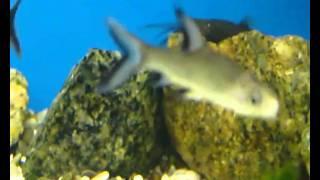 Аквариум - Аквариумные рыбки - Акулий балу(Акулий балу обитает в реках и ручьях с быстрым течением в Таиланде и на островах Юго-Восточной Азии: Калиман..., 2010-12-25T19:58:57.000Z)