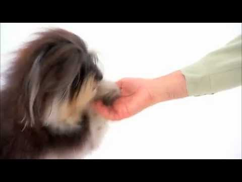 Dog Breeds - Havanese. Dogs 101 Animal Planet