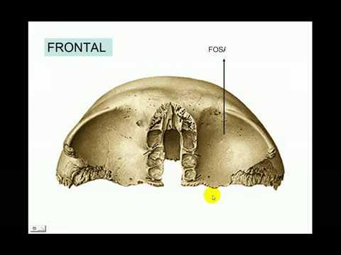 Anatomía - Cráneo, Hueso Frontal - Parte 2 de 7 - YouTube
