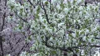 ありふれた日常の風景 2012.04.14 柴島浄水場 桜並木の通り抜け Traffic...