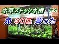 熱帯魚30匹導入!  水草ストック水槽60cm ワイド の動画、YouTube動画。