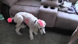 Websters The Poodles Effort To Help Support Cancer