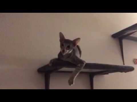 Oriental Shorthair baby Looking for a battle