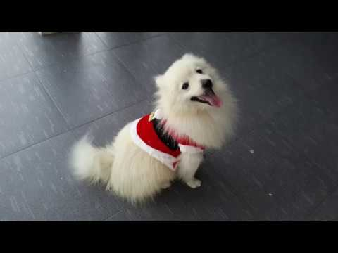 Cute Dogs / Spitz / Best Compilation