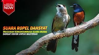 TRUCUK ROPEL DAHSYAT TERKONTAMINASI MURAI