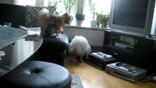 Pomeranian Girl From Switzerland At My House :)