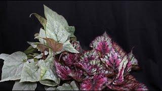 Begonia rex - Königs-Begonie, King Begonia