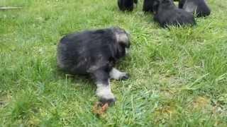 Mini Schanuzer Puppies, 3 weeks old