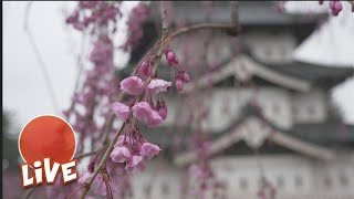 Live from Hirosaki Castle Park at one of Japan's top Sakura berry b...