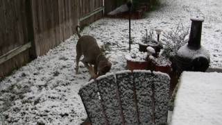 Weimaraner Beaux In Sneaux !!!  Houston Snow - Dec 4, 2009
