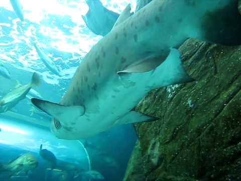 In the Predators tank at the Two Oceans Aquarium, Cape Town - clip 2