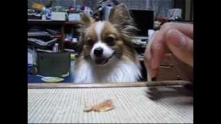 アイドル犬やなぎの子犬の時の動画です。