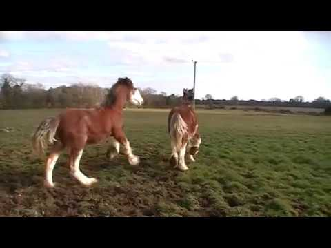 CRAZY Clydesdale Horses Galloping and Going Wild!