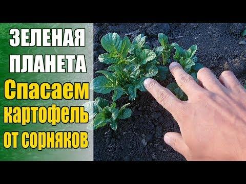 Спасем картофель от сорняков: эффективно, легко, безопасно для окружающей среды
