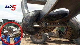 Terrifying 33ft anaconda caught in brazil | telugu news | tv5 news