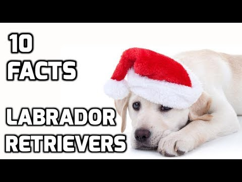 Top 10 facts about Labrador Retrievers(Dog Breed Information)