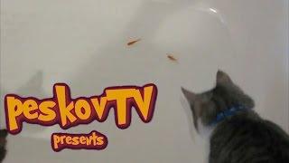 Смешные кошки #11. Кот и золотые рыбки в ванной.