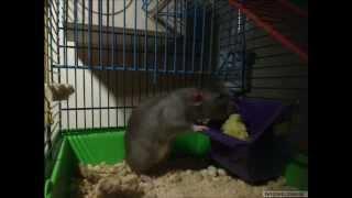 Dumbo Rats Eating Curds | Крысы дамбо кушают творог