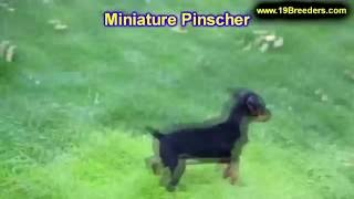 Miniature Pinscher, Puppies, For, Sale, In, Rio Rancho, New Mexico, County, Nm, Sandoval, San Juan,