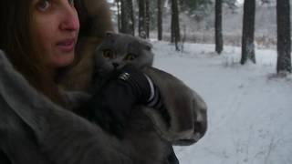 Шотландская вислоухая кошка. Кошка на прогулке первый раз. РЕАКЦИЯ КОШКИ НА СНЕГ. Cats scottish fold