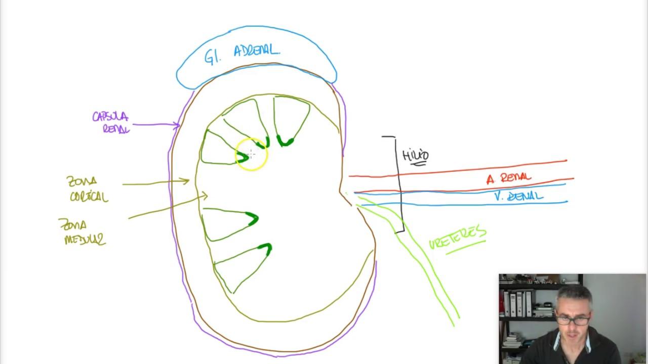 SISTEMA URINARIO - Anatomía riñón - YouTube