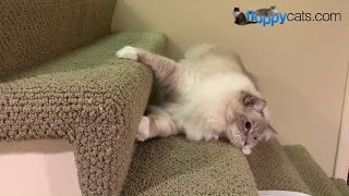 Blue Lynx Mitted Ragdoll Cat Chiggy Playing with a Bottlecap