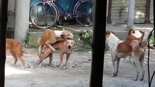 Download Video Amazing Dog Meeting and Hit sex কুকুরের জস হিট সেক্স ভিডিও না দেখলে মিস।। MP3 3GP MP4