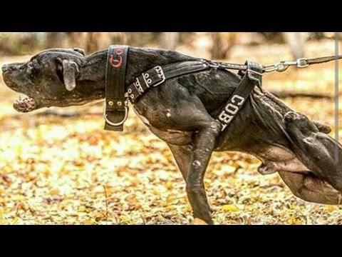 Thumbnail: American Pitbull Terrier - Supreme Fighter