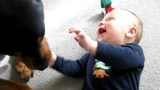 Rottweiler causing a baby laugh attack thumbnail
