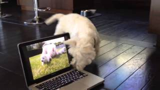 Westie Trying To Find The Puppies Trapped Inside The Computer...