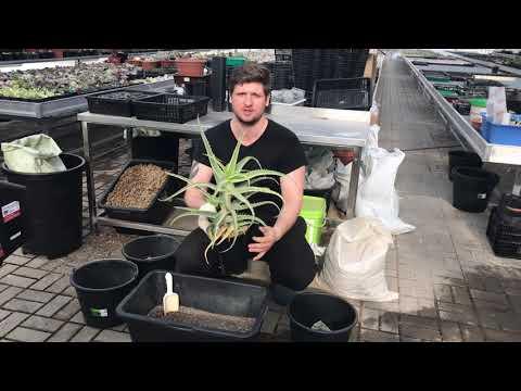 Алоэ древовидное (Aloe arborescens variegated) - пересадка пестролистного столетника