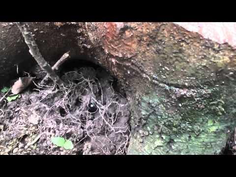 Mistkäfer an einem Stamm voller Baumharz Käfer, Insekten, Wald