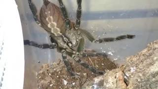 видео poecilotheria ornata