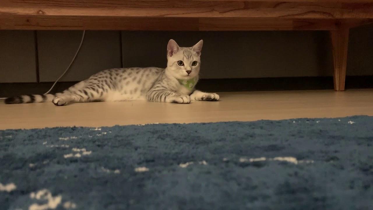 실버 뱅갈고양이(silver bengal cat) 호랑