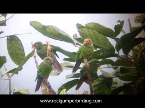 El Oro Parakeet at Buenaventura, Ecuador