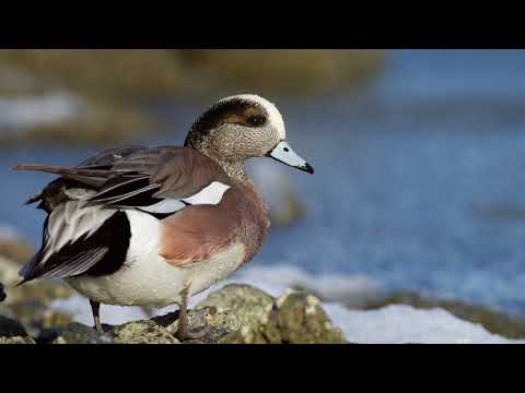 Waterfowl Of The Eastern Shore Of Maryland
