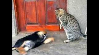 Кот и пёс играют. Игры животных. Домашние животные. (Юмор)