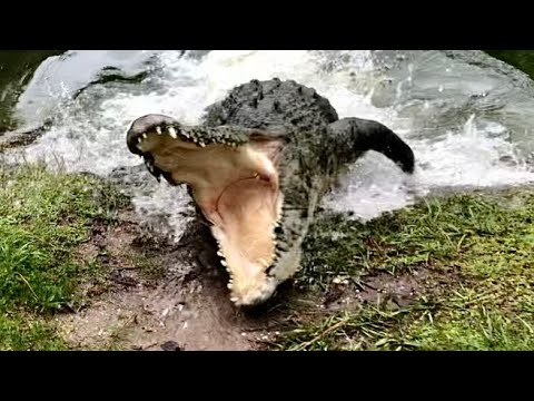 image for Savannah feeds a huge Saltwater Crocodile!