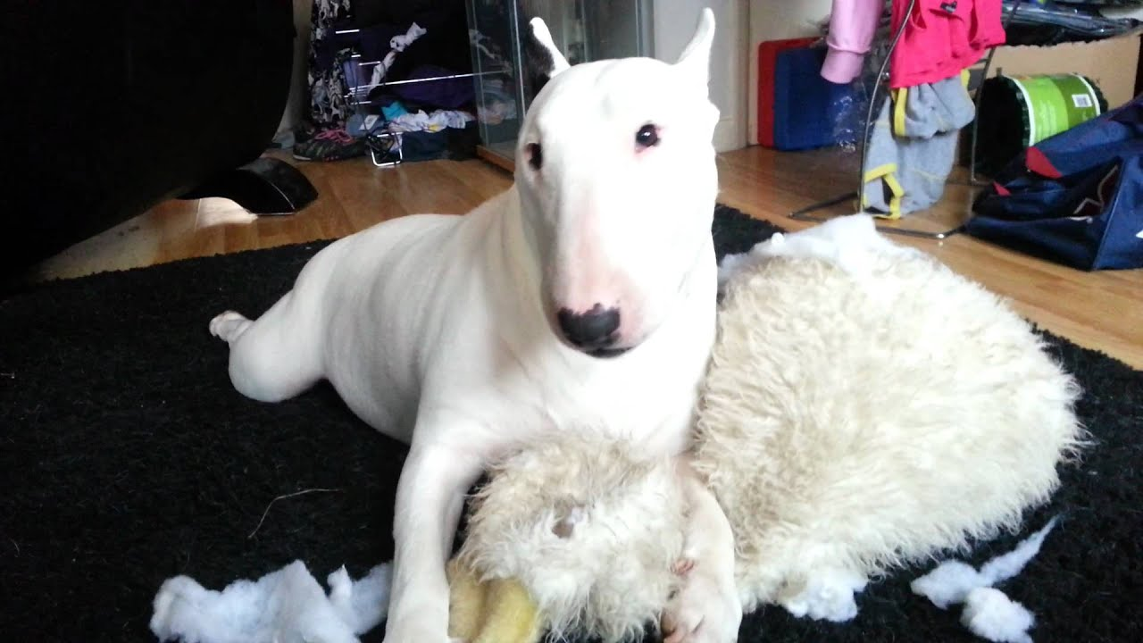 My english bull terrier killing his toy duck - YouTube