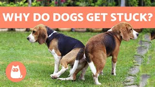 Why Dogs Get Stuck After MATING - Breeding Explanation